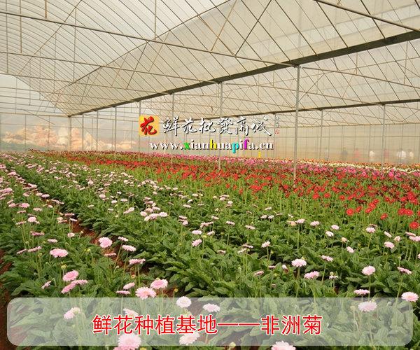 非洲菊种植基地