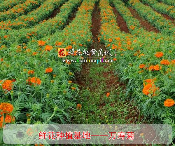 万寿菊种植基地
