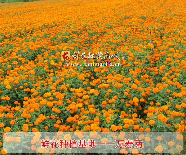万寿菊种植